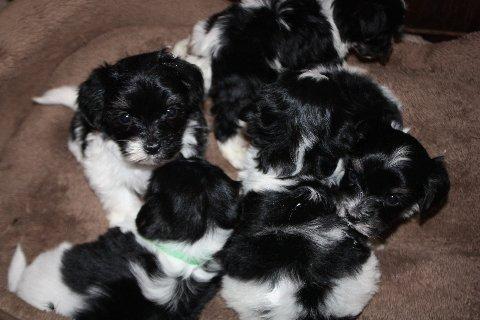 2013-02-25 Faith - Chick - puppies 001