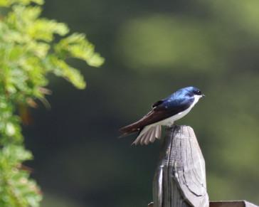 2020-06-11-Farragut-528a Tree Swallow.JP