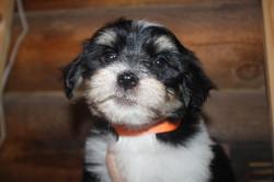 2012-12-22 Kimmie-Barron pups - male -  bobby