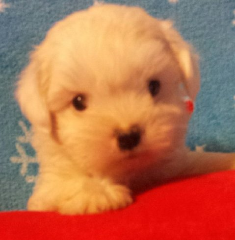 2014-10-26 Coton - female 2 six weeks old 001