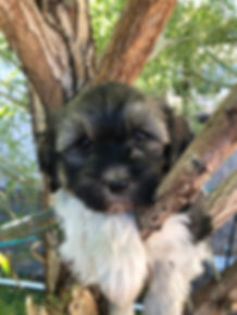 2019-08-21 Havanese Lexie-Hanz female Iz