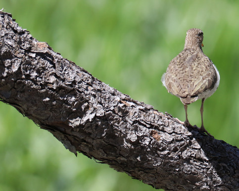 05 May - Spotted Sandpiper