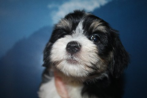 2012-12-22 Kimmie-Barron pups - male - baxter