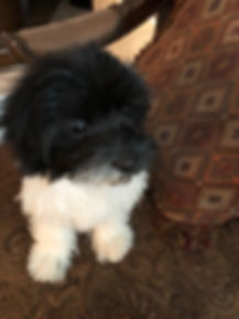 2019-09-17 Havanese Pi-Ms Lipps male3 To