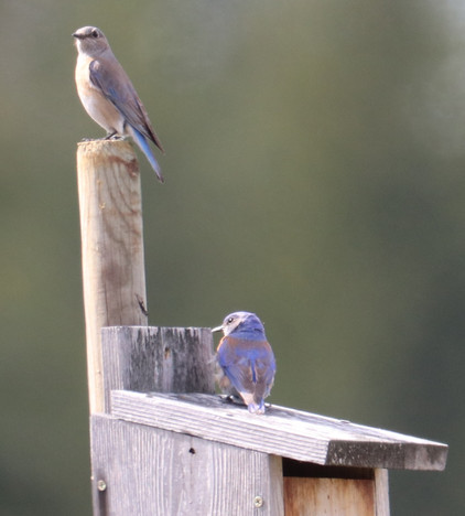 05 May - Western Bluebird Female & Male