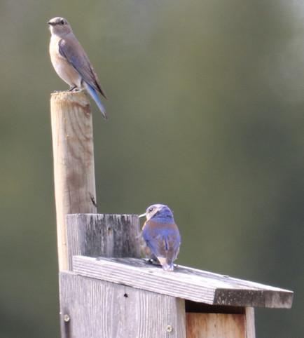 05 May - Western Bluebird Female & Male