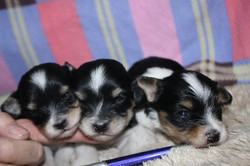 2012-12-22 Kimmie-Barron pups - group 1