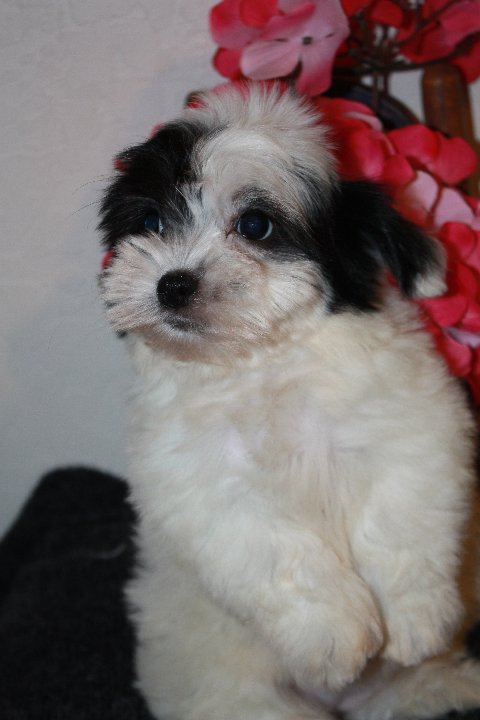 available coton born 1-9-12 female Lacey 001