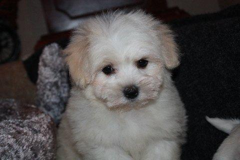 available coton born 1-9-12 male white 004