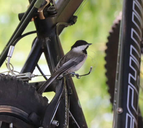06 June - Black Capped Chickadee