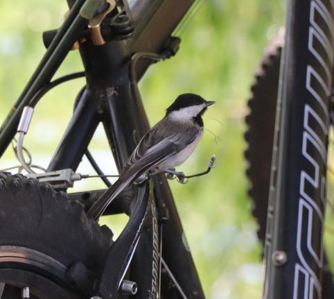 06 June - Black Capped Chickadee
