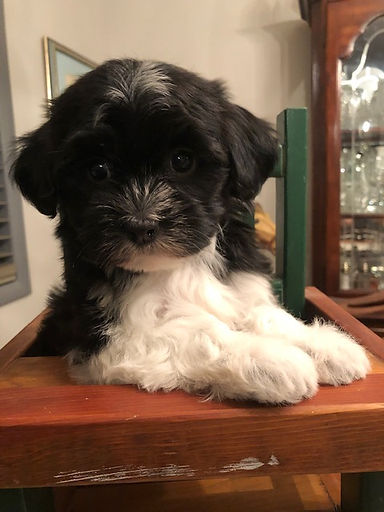 2019-08-21 Havanese Lexie-Hanz female An