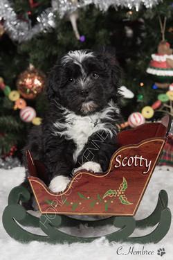 2016-10-28 Mikie-Razeberrie Cream male Scotty 1