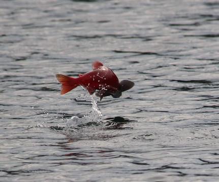 2017-09-13 Kokanee salmon