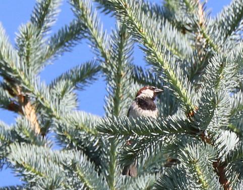 06 June - House Sparrow