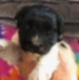 2019-09-17 Havanese Pi-Ms Lipps female1