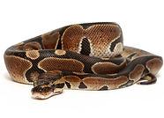 dees pets ball python.jpg