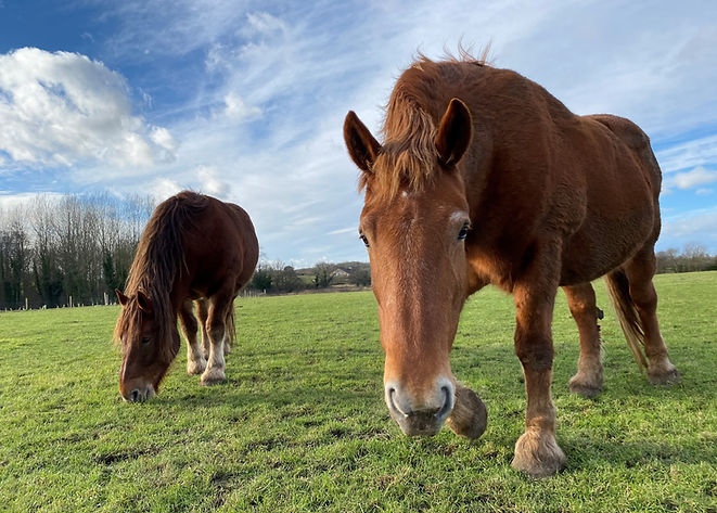 Suffolk Punch Horse
