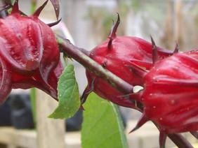 Hibiscus tea: flower power