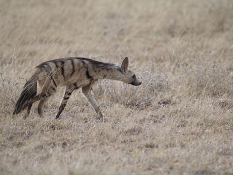 Le protèle, un cousin insectivore des hyènes
