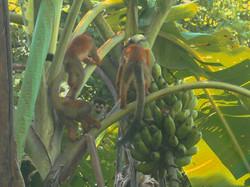 SatsangYoga-CostaRica-SquirrelMonkey-01-800x600.jpg