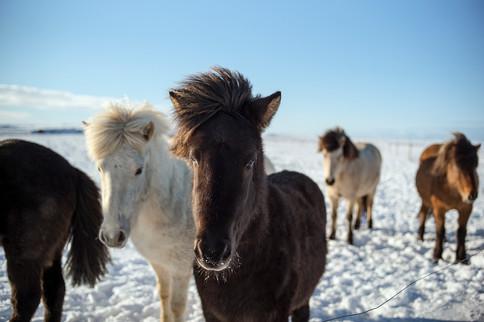 ICELANDIC HERD II