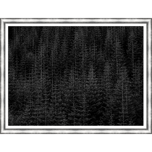 Among Static Pines II in Black and White