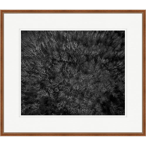 Among Static Pines in Black & White