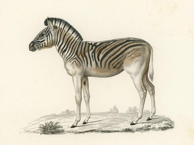 res-Zebra.jpg