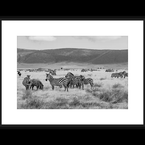Dazzle of Zebras I