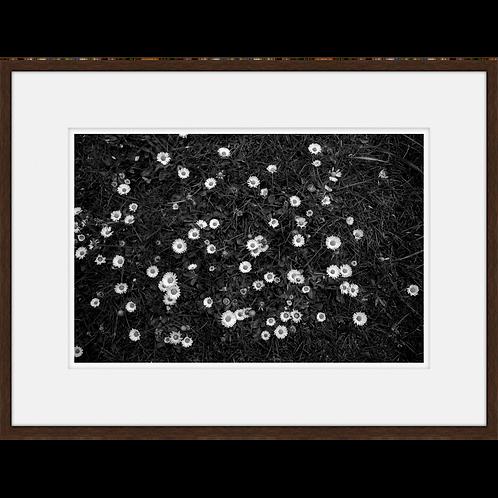 Fields of White Flowers