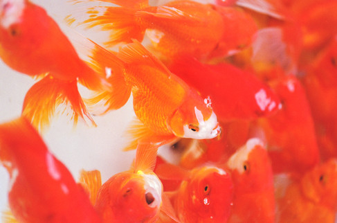 MARKET GOLD FISH