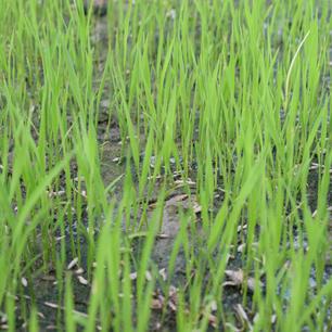 Proyecto Paisajes Productivos integrados a traves de la planificacion del uso de la tierra; restauracion e intensificacion sostenible del arroz en Yaque y Yuna