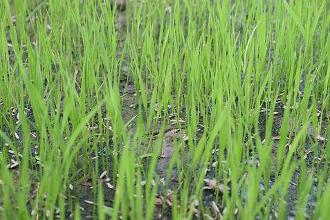 rice-seeding-5220900_1920.jpg