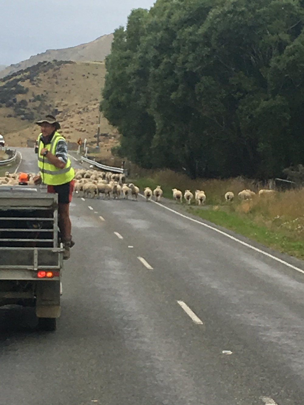 The Sheep blocked the road