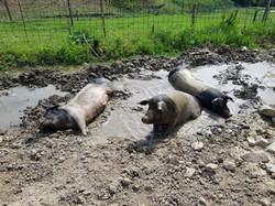 ... sind inzwischen schon ausgewachsene Schweine