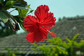 hibiscus-787030_1280.jpg