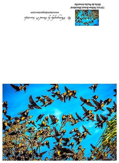 Yellow Chested Blackbird / Mirlo Pecho Negro 124-E5