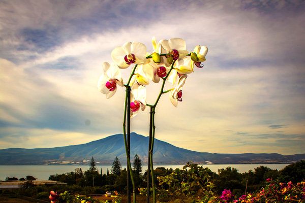 Flowers and blooms in Lake Chapala/ Flores y flores en el lago de Chapala 591