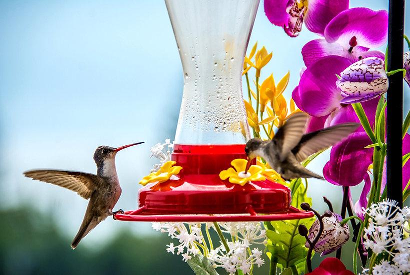 Hummingbird / Colibri 110
