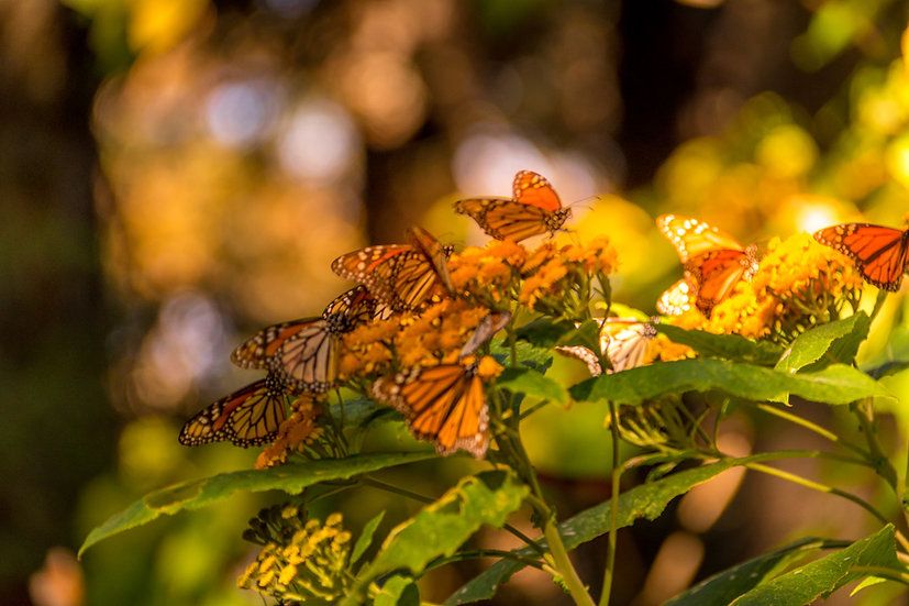 Monarch Butterflies at Rosario 964