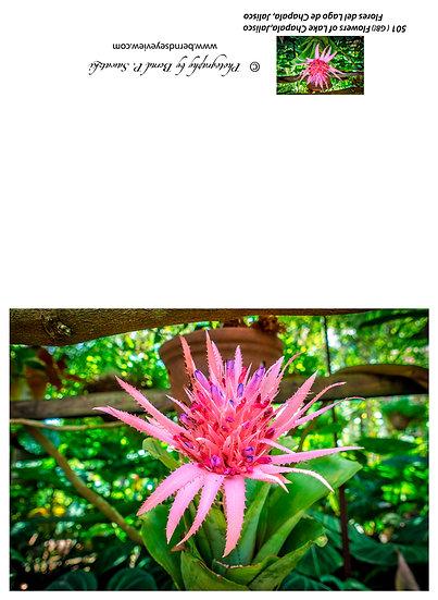 Flowers and blooms, Lake Chapala/ Flores y flores en el lago de Chapala 501-Gb1