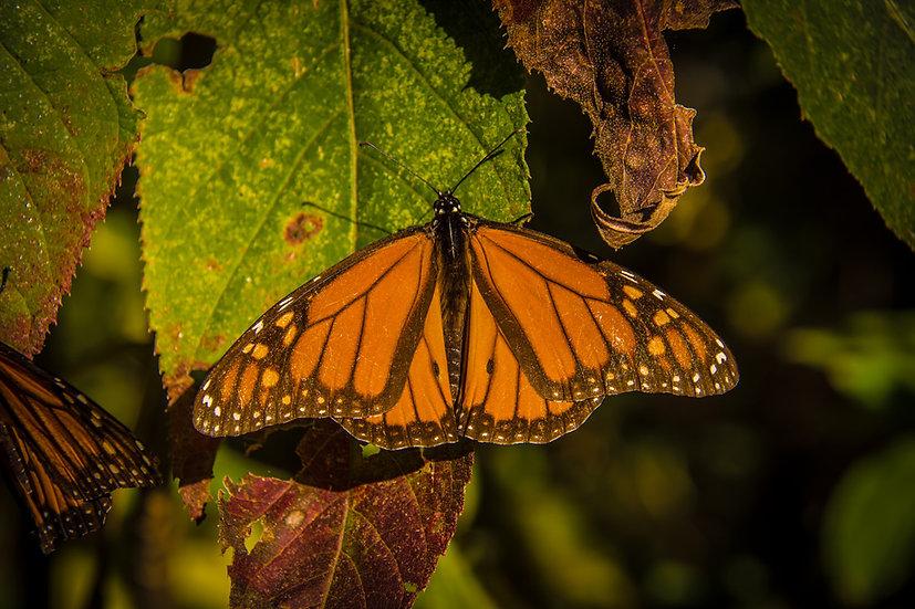 Monarch Butterflies at Rosario 969