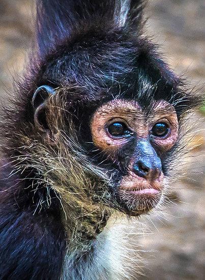 Monkey / Mono 926