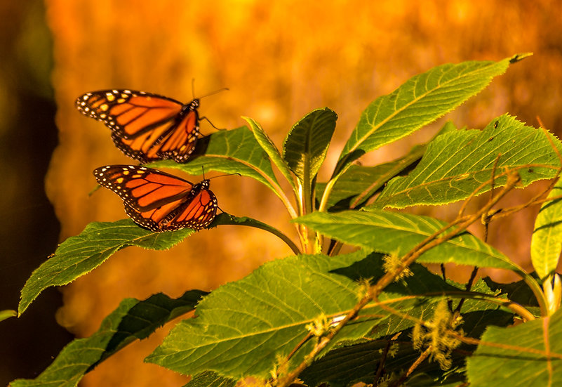Monarch Butterflies at Rosario 957