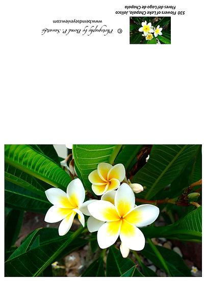 Flowers and blooms in Lake Chapala/ Flores y flores en el lago de Chapala 530