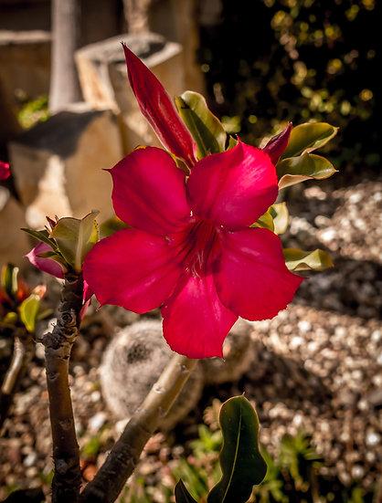 Flowers and blooms in Lake Chapala/Flores y flores en el lago de Chapala 523A