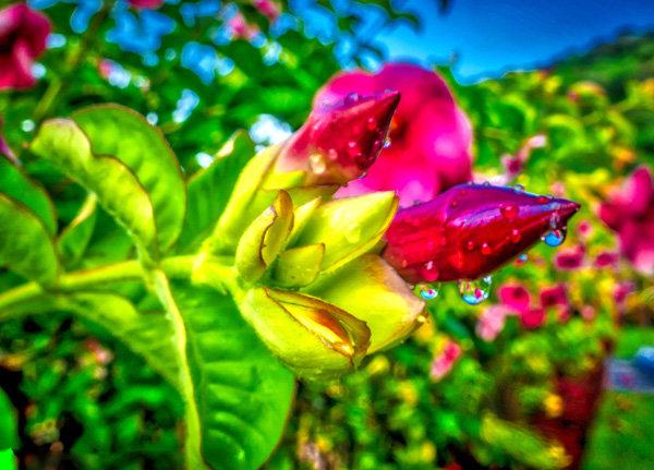 Flowers and blooms in Lake Chapala/ Flores y flores en el lago de Chapala 532