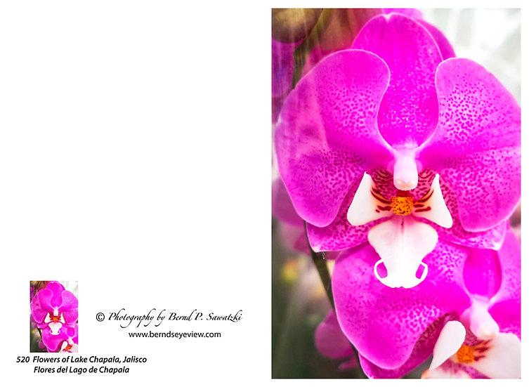 Flowers and blooms in Lake Chapala/ Flores y flores en el lago de Chapala 520