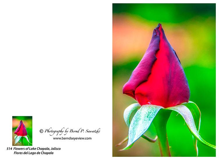 Flowers and blooms in Lake Chapala/ Flores y flores en el lago de Chapala 514